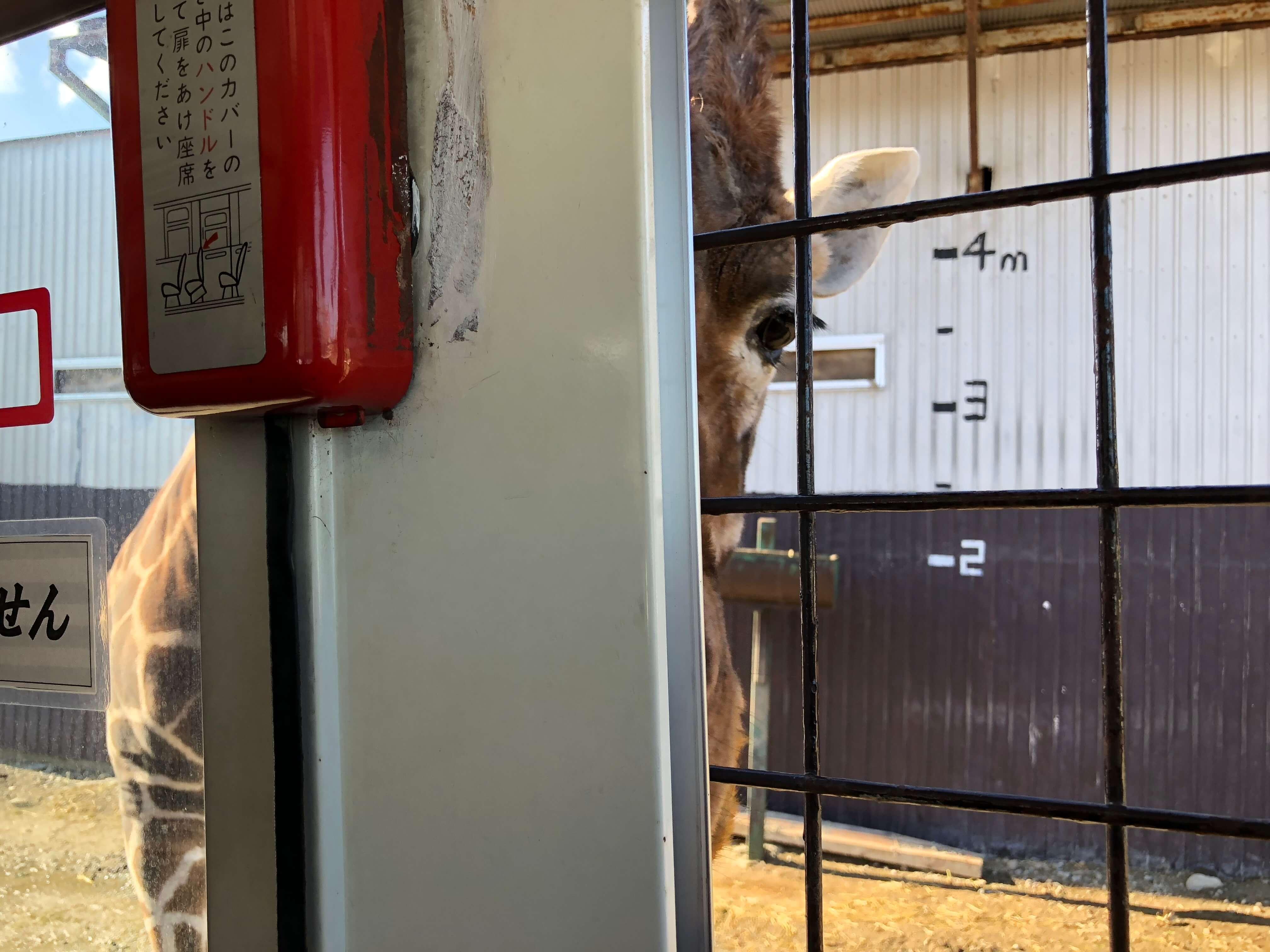 キリンへ餌やり