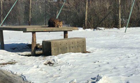 那須サファリパークのライオン