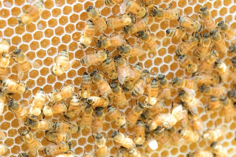 はちみつを作るミツバチ